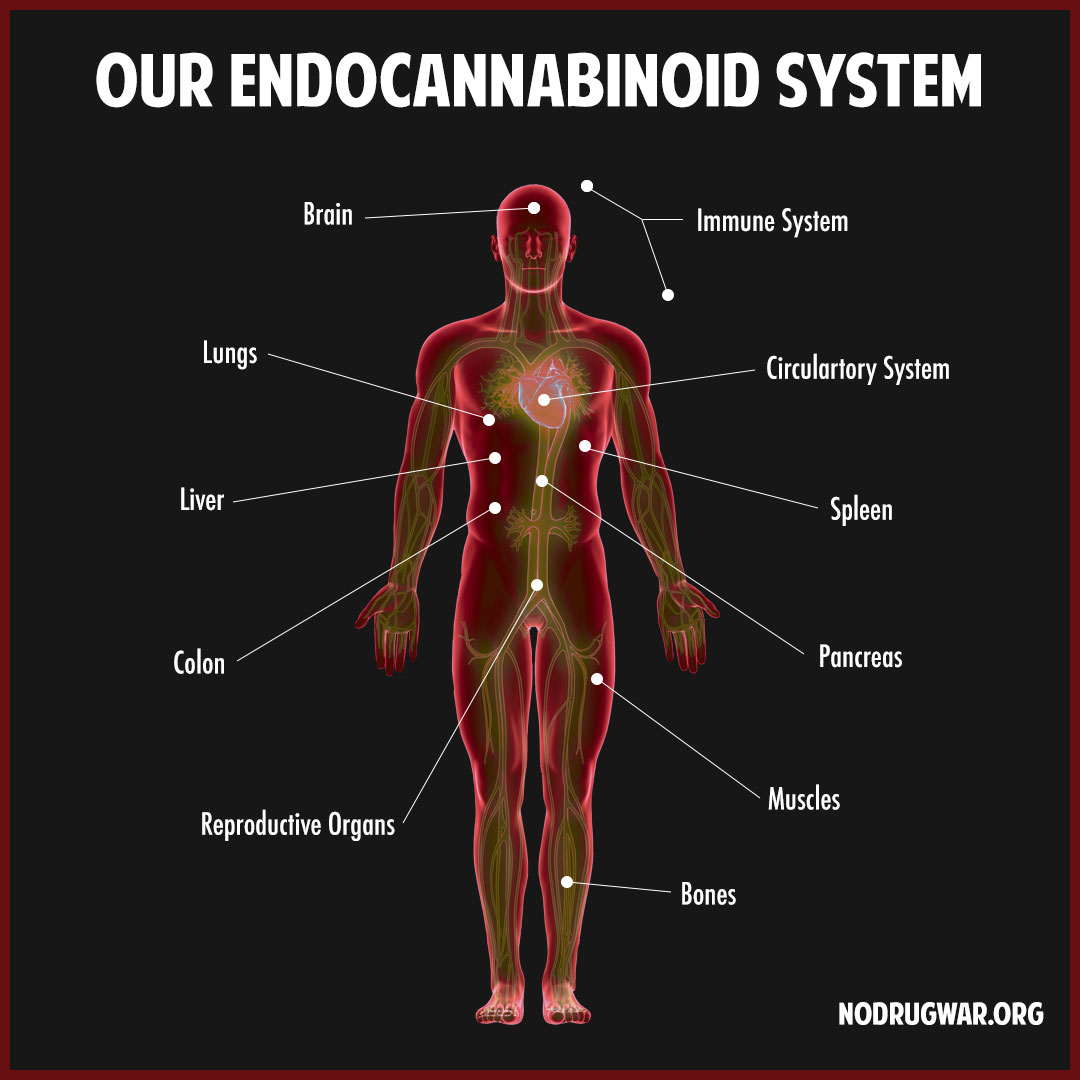 The endocannaboid system